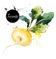 Turnip Hand drawn watercolor painting on white vector image vector image