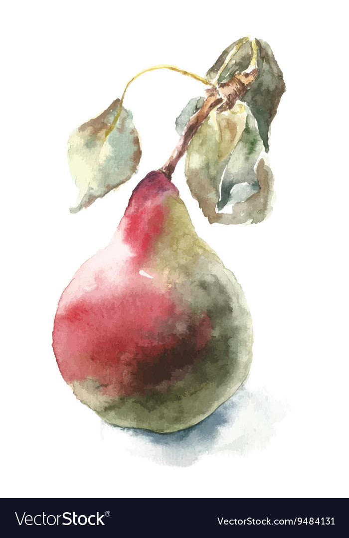 Watercolor pear vector