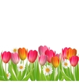 Tulip flowers isolated on white vector image