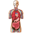 Human anatomy on white background vector image vector image