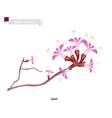 Qataf Flower The National Flower of Qatar vector image