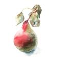 Watercolor pear vector image