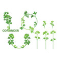 coriander herb vector image