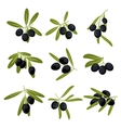 Organically grown black olive fruits on branches vector image
