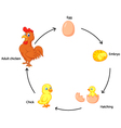 Life cycle of a chicken for kids vector image