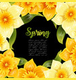 elegant background with yellow daffodil narcissus vector image