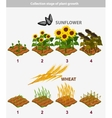 Plant growth stage Sunflower and Wheat vector image