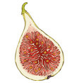 ripe fig in cross section vector image