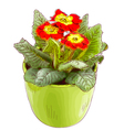 Red primrose in a flowerpot vector image