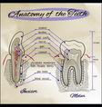 Anatomy of The Teeth Sepia vector image
