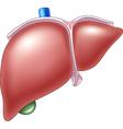 Cartoon of Human Liver Anatomy vector image