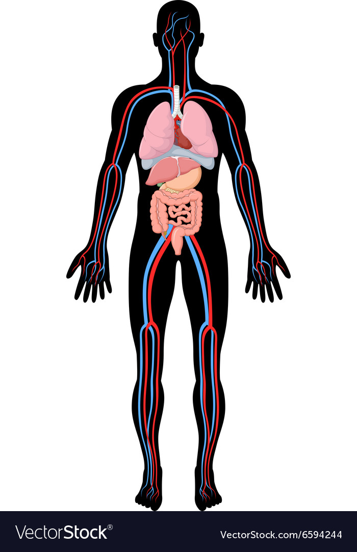 Cartoon of human body anatomy vector