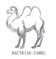 bactrian camel sketch of camelus vector image