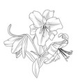 blooming lily flowers bouquet isolated black white vector image