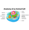 Diagram showing anatomy of animal cell vector image vector image