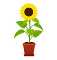 sunflower plant in flower pot vector image