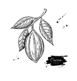 Cocoa branch superfood drawing Isolated vector image