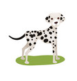 dalmatian dog purebred pet animal standing on vector image