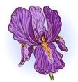 purple iris vector image