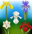 Iris Flower vector image vector image