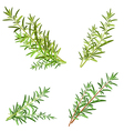 bunch fresh rosemary herb isolated set vector image