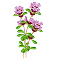 flowering thyme vector image vector image