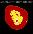 Age-related changes in muscle vector image