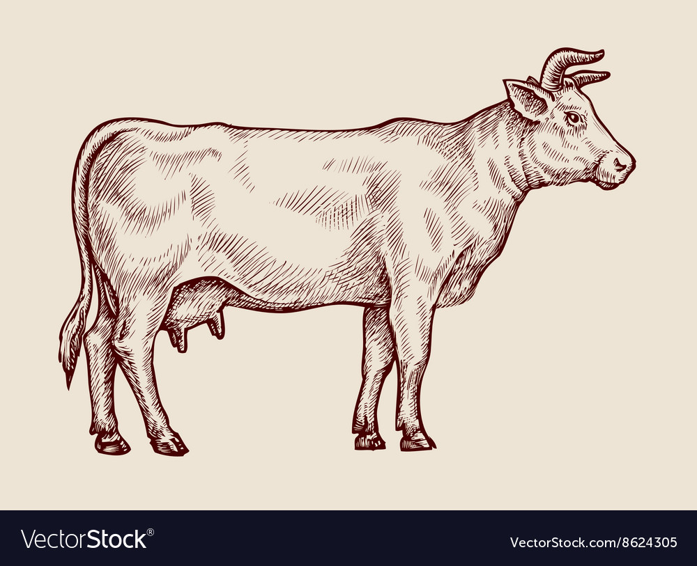 Sketch cow hand drawn vector