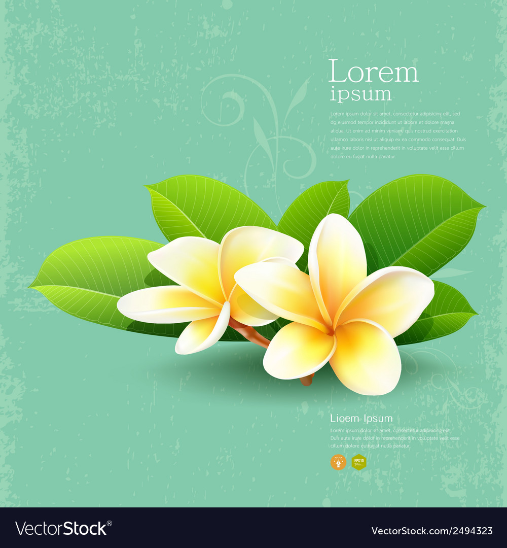 Frangipani flower of thailand with green leaf vector