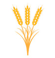 bouquet bunch of ears of wheat with the stems vector image