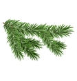 Green lush spruce branch Fir branches vector image