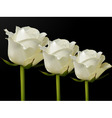 white roses vector image vector image
