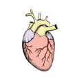 Human heart Stock vector image vector image