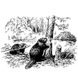 Eurasian beaver vector image