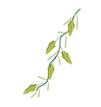 A Fresh Cardamom Plant on White Background vector image