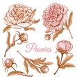 Peonies vector image