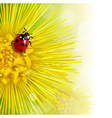 floral background with a coltsfoot vector image vector image