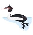 grebe bird detalised on white background in vector image