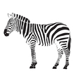 zebra4 vector image