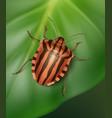 striped shield bug vector image