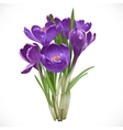 Spring purple crocuses on the vine vector image