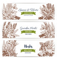 herbs and spices organic plant sketch banner set vector image