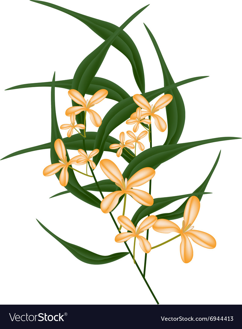Orange sweet osmanthus flower and green leaves vector