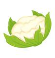 whole fresh cauliflower vector image