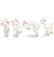 Four white goats vector image