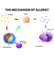 Mechanism of allergy vector image
