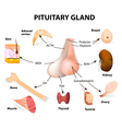 pituitary hormone vector image vector image