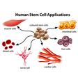 Human Stem Cell Applications vector image