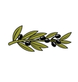 Leafy branch with ripe black olives vector image vector image
