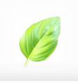 green basil leaf vector image